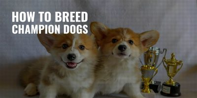 how to breed champion dogs