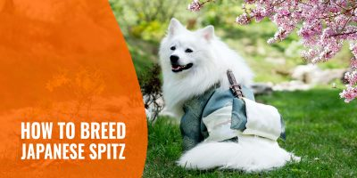 how to breed japanese spitz
