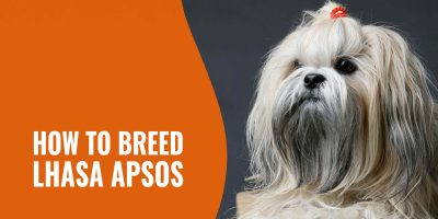 how to breed lhasa apsos