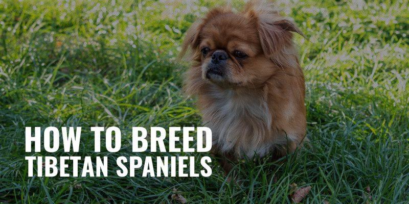 how to breed tibetan spaniels