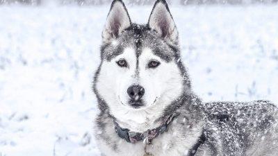 150+ Husky Dog Names – Perfect Siberian & Alaskan Husky Names!