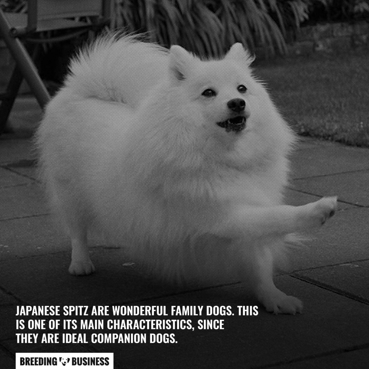 japanese spitz are family dogs