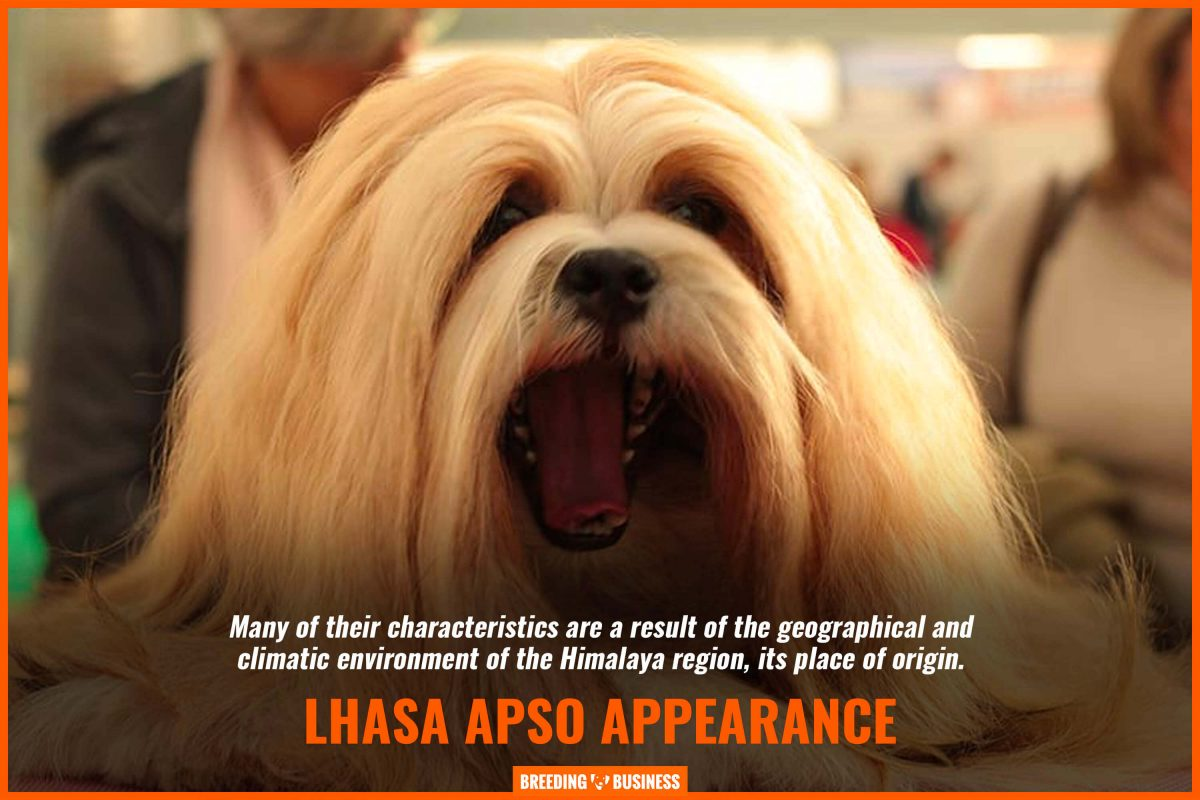 lhasa apso appearance