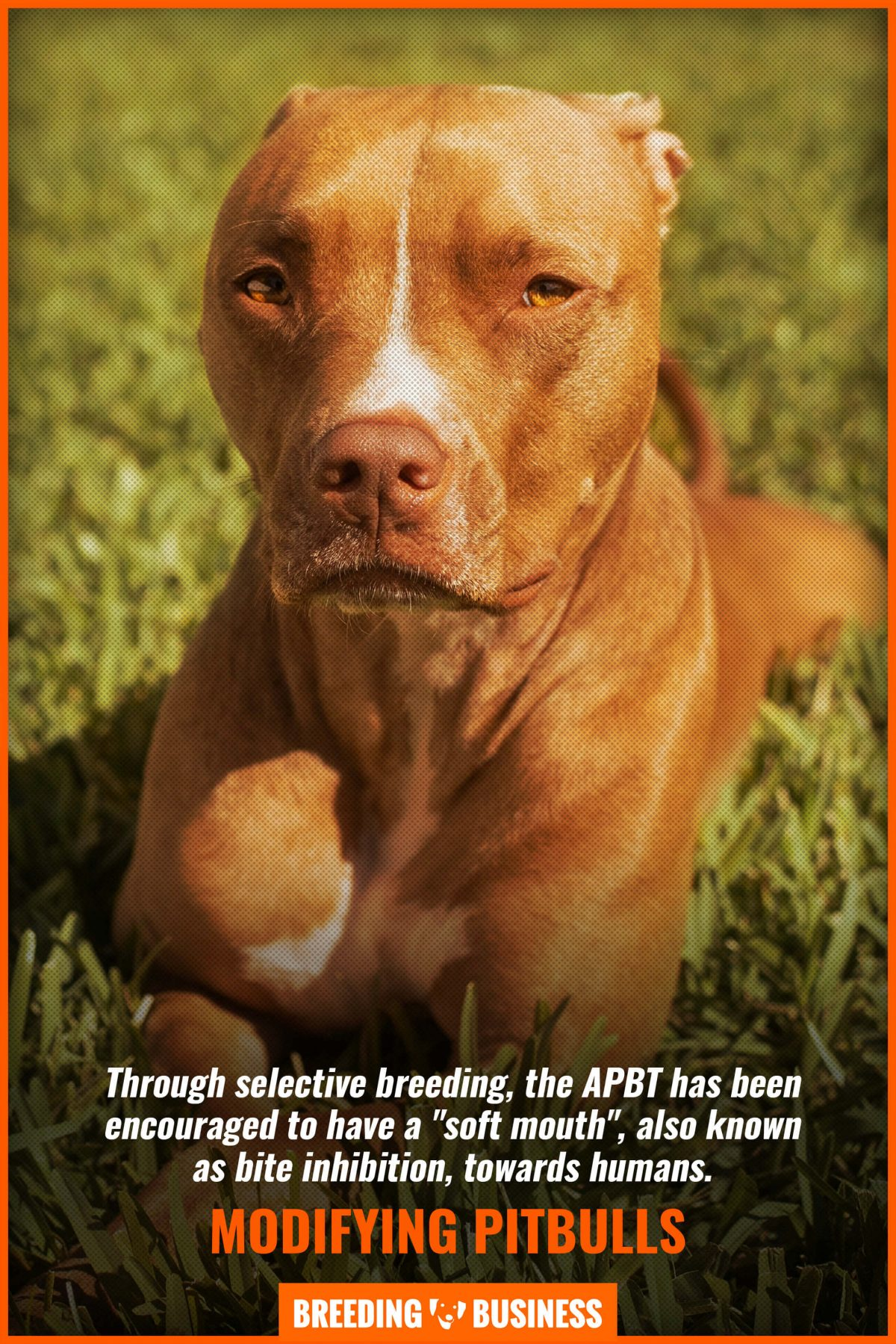 modifying pitbulls