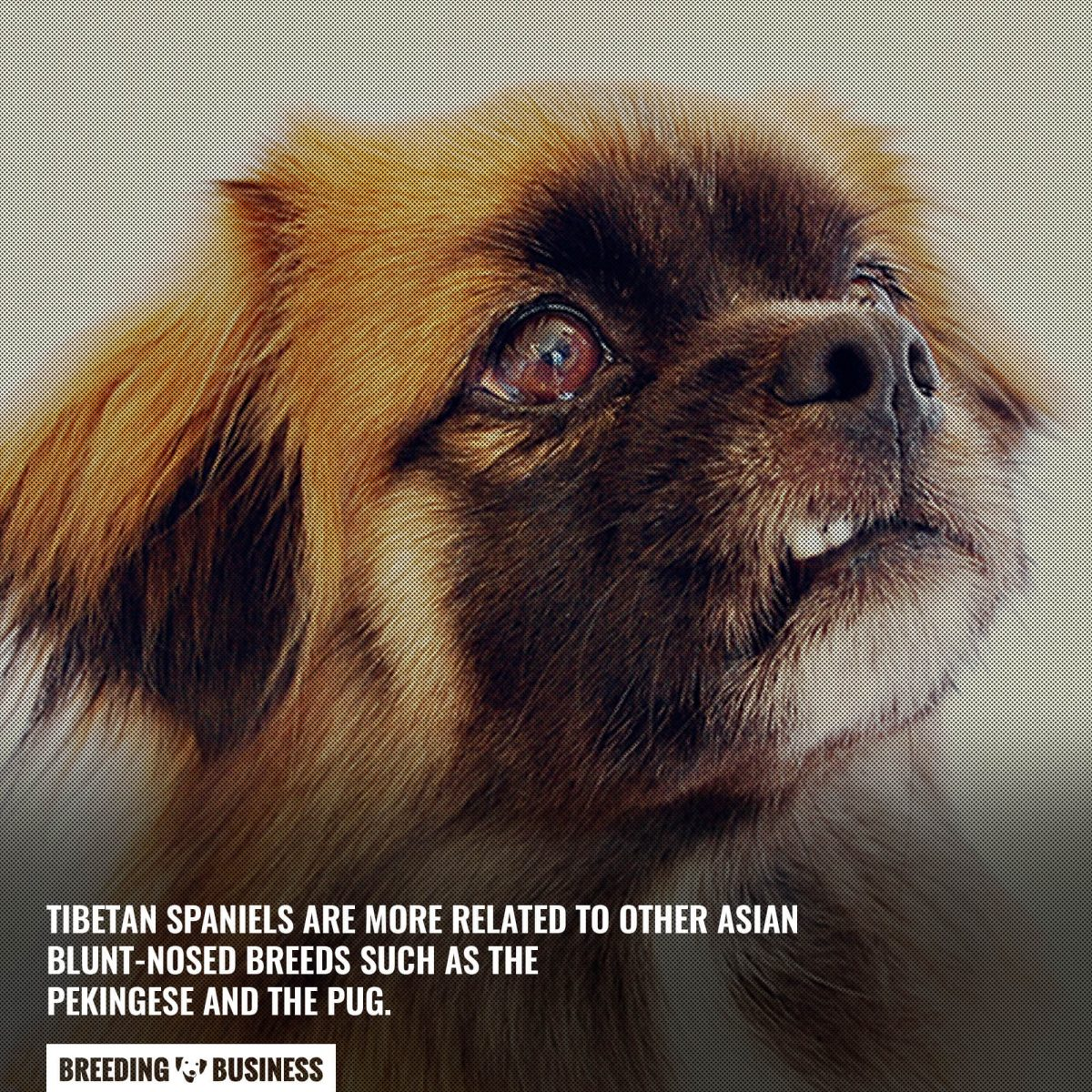 not a spaniel breed