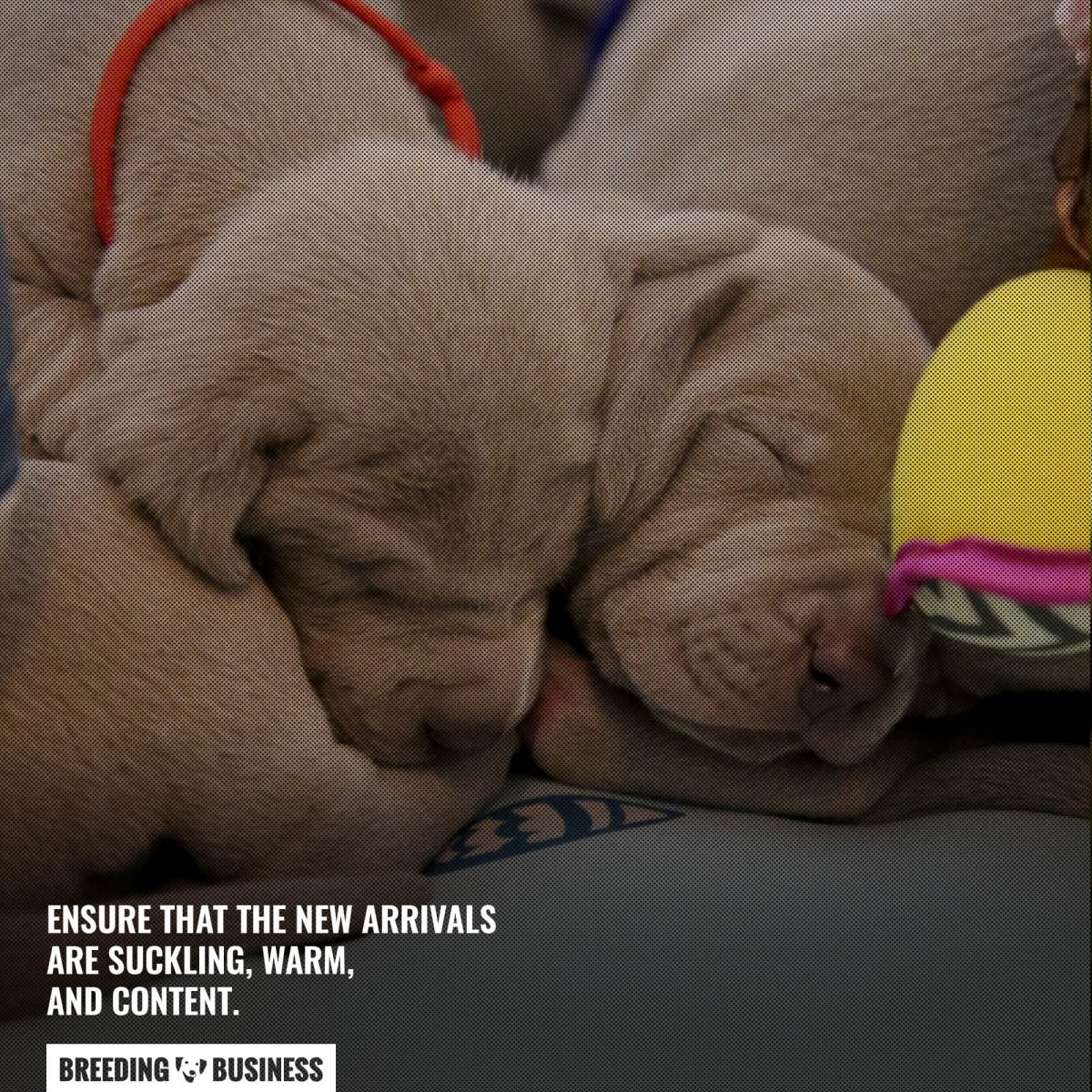 post labor care for puppies