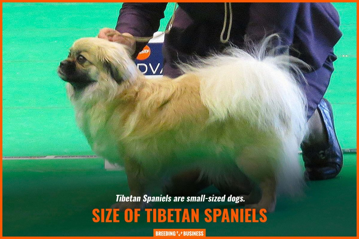 size of tibetan spaniels