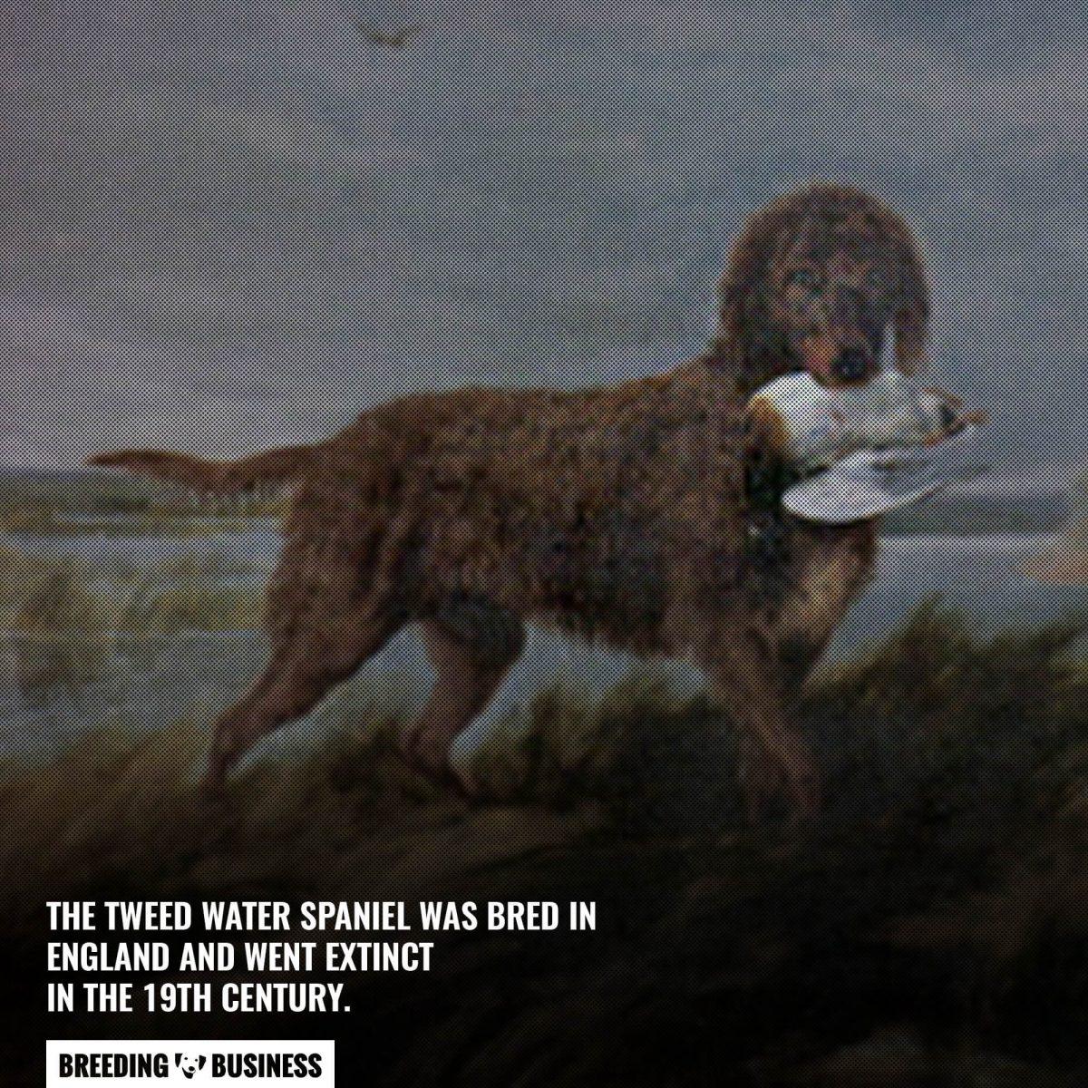 tweed water spaniel