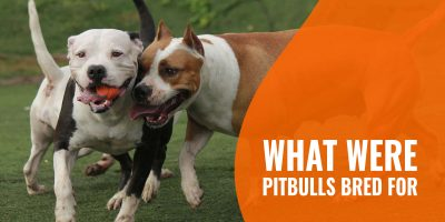 what were pitbulls bred for