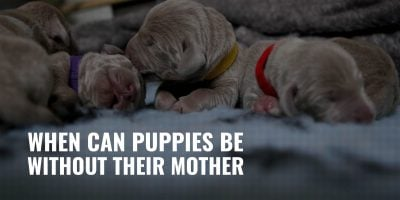 when can puppies be without their mother