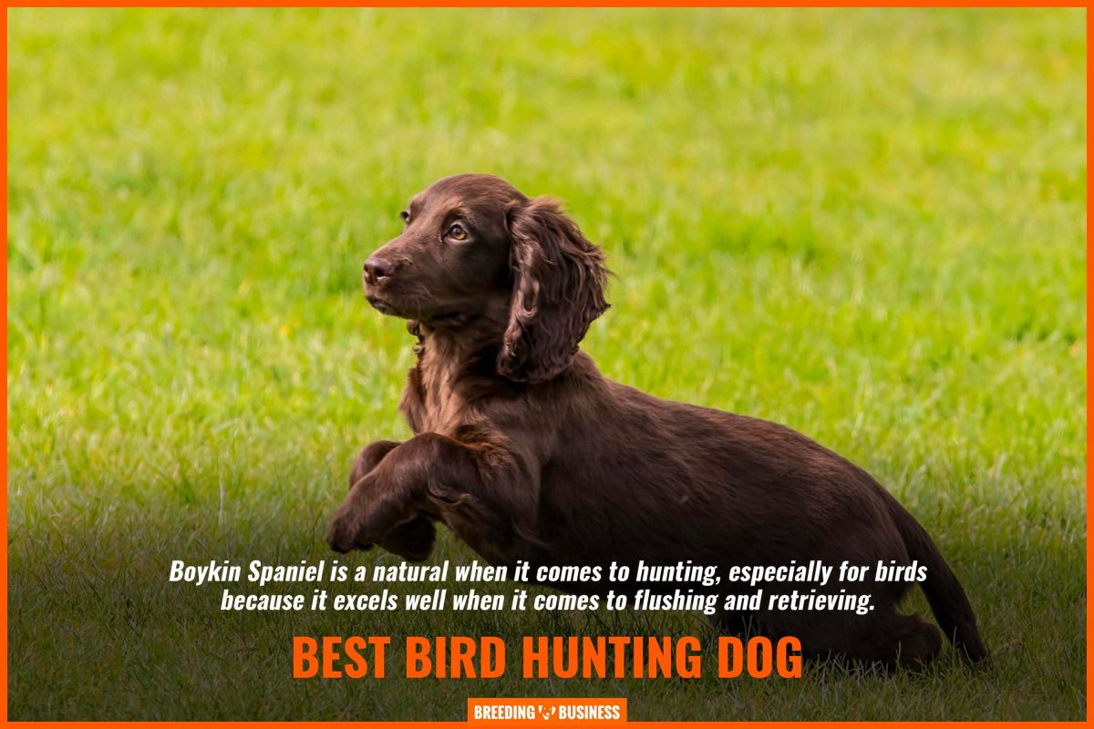 best bird hunting dog