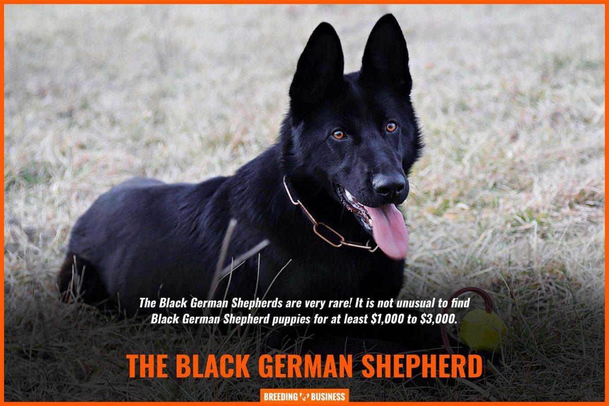 black german shepherd puppies price