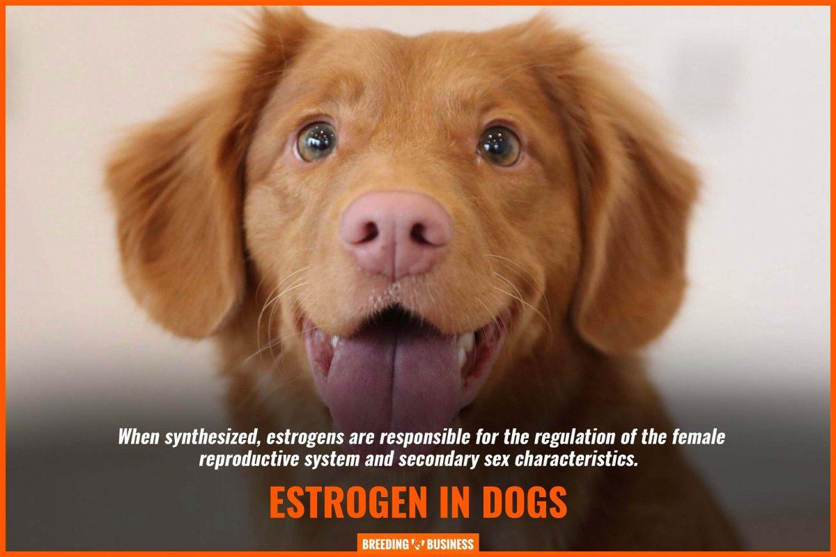 estrogen in dogs