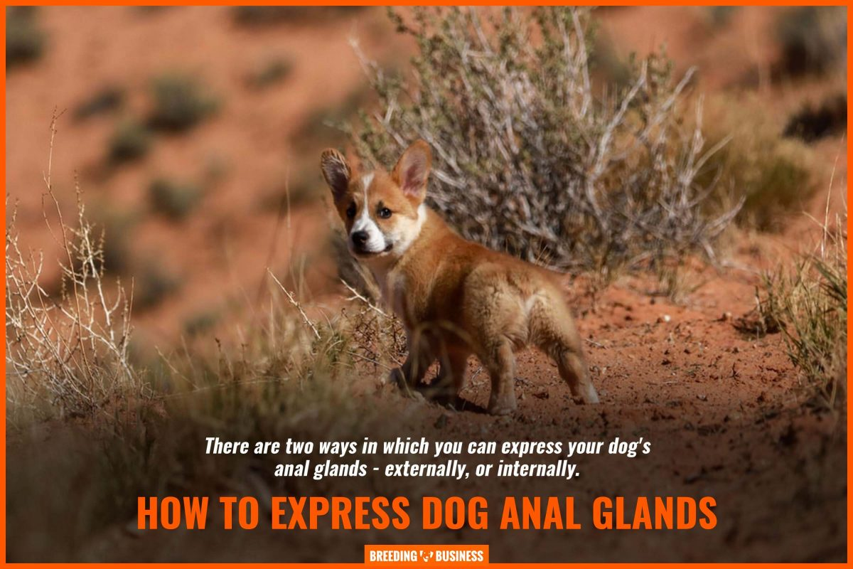 how to express dog anal glands
