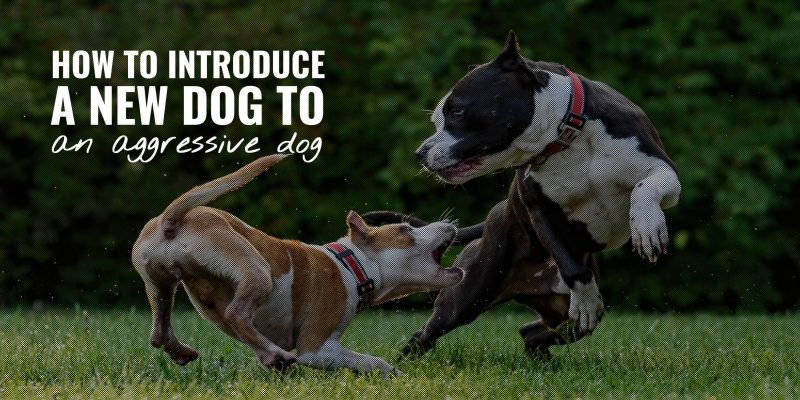 how to introduce a new dog to an aggressive dog