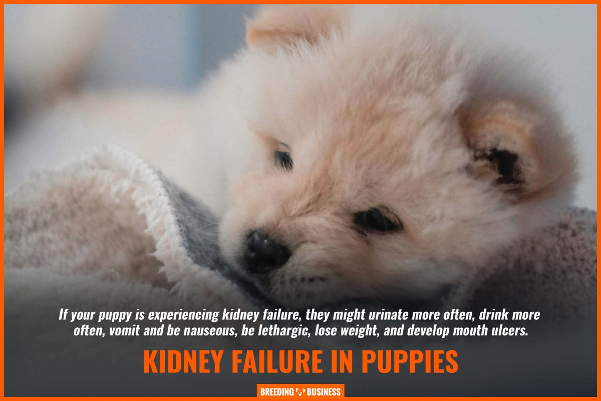 kidney failure in puppies
