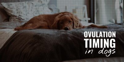 ovulation timing in dogs