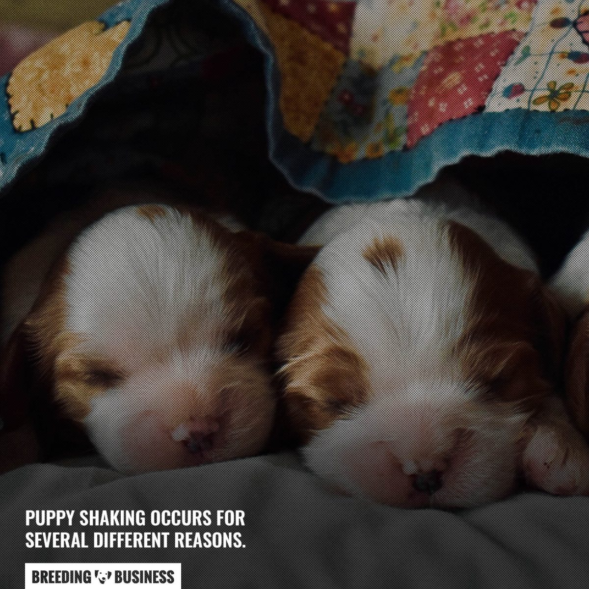 reasons for puppy shaking