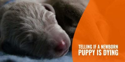 How To Tell If a Newborn Puppy Is Dying