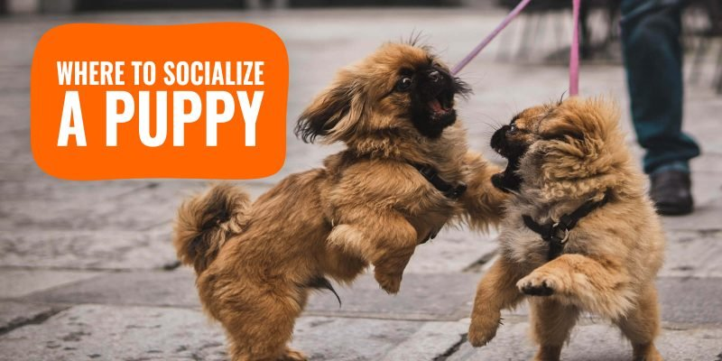 Where to Socialize a Puppy?