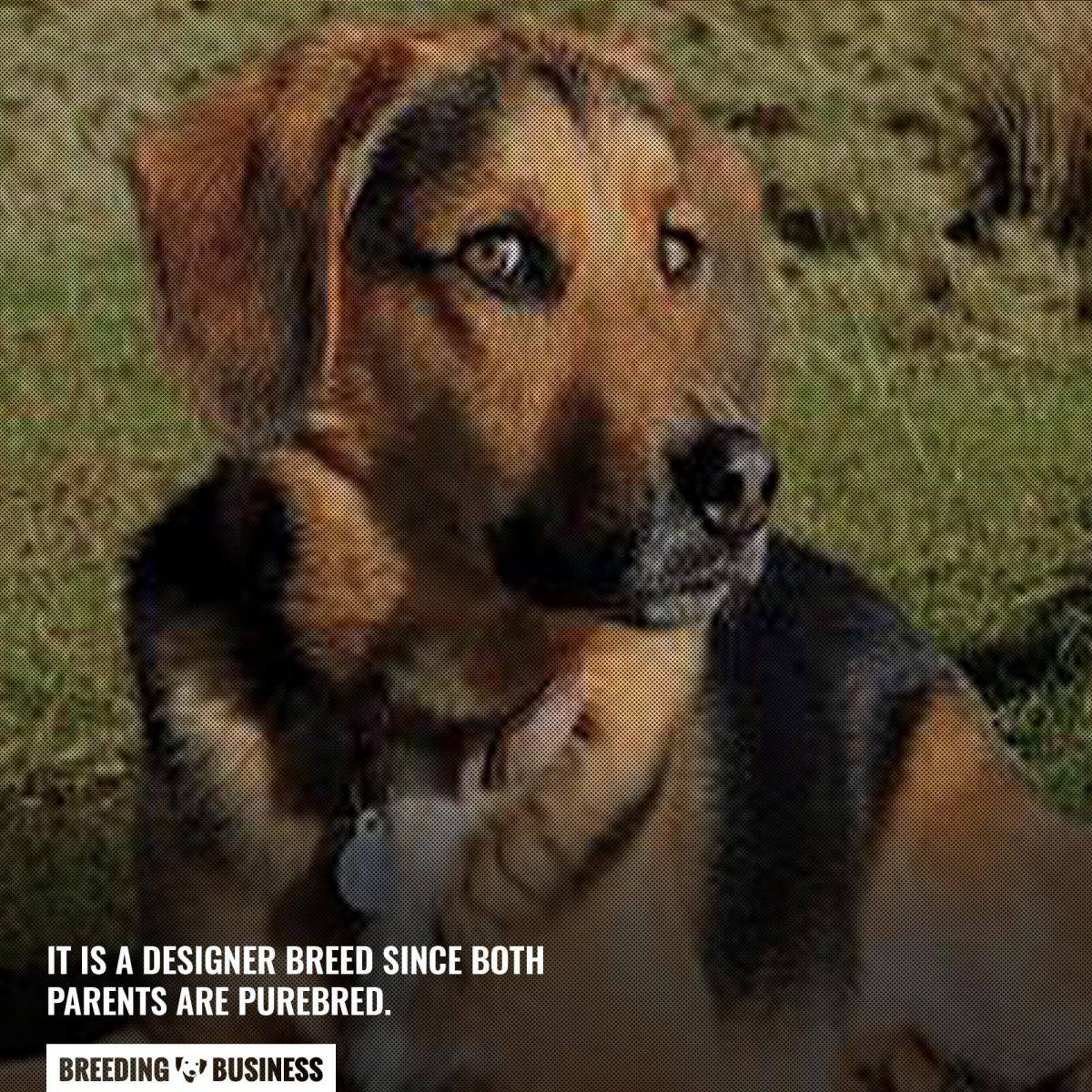 beagle shepherd