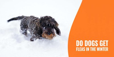 do dogs get fleas in the winter