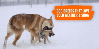 dog breeds that love cold weather and snow