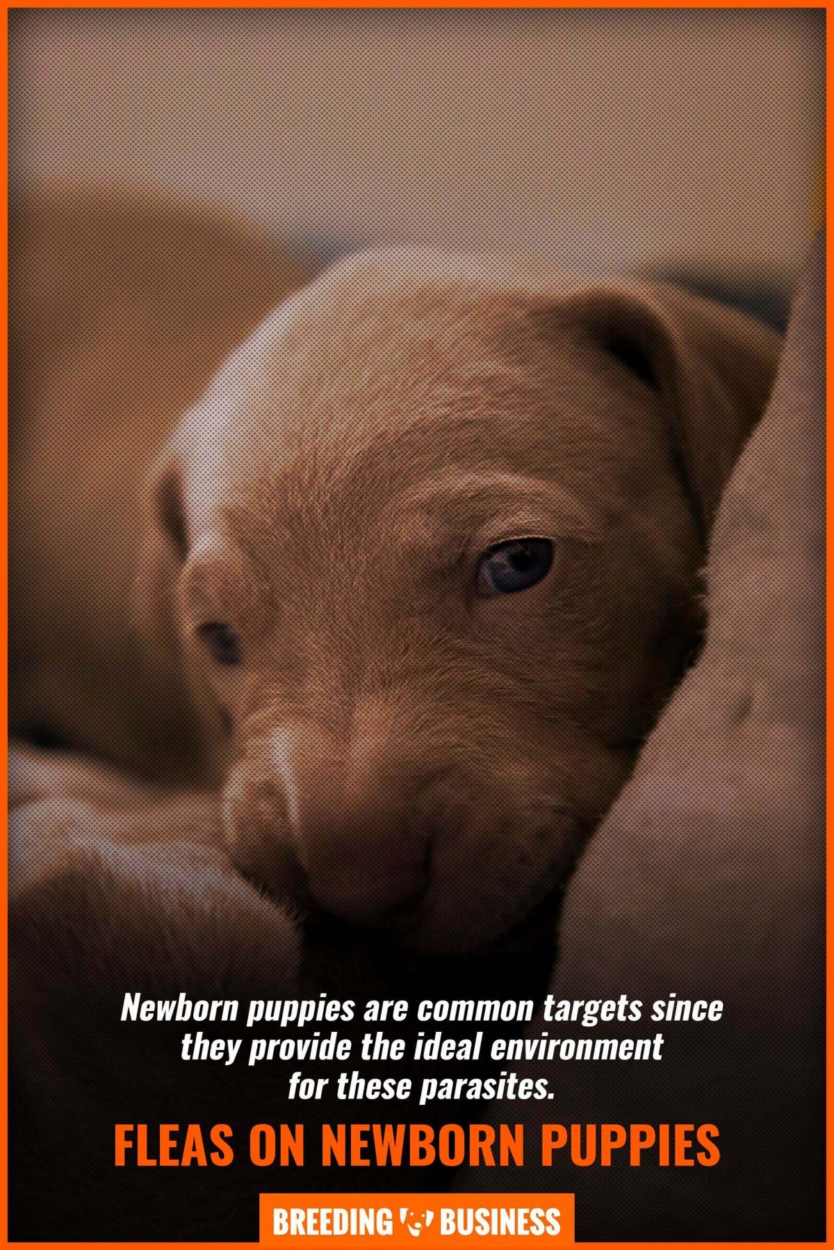 fleas on newborn puppies