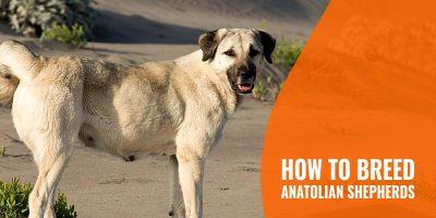 how to breed anatolian shepherds