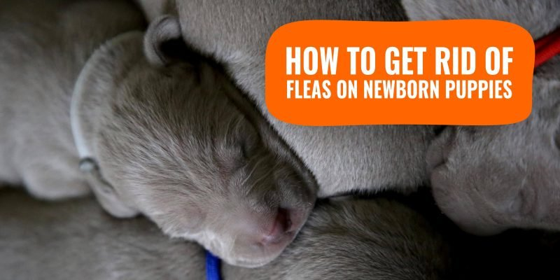how to get rid of fleas on newborn puppies