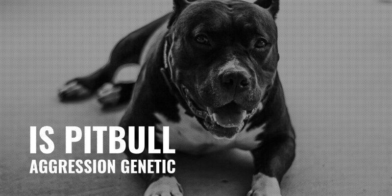 is pitbull aggression genetic
