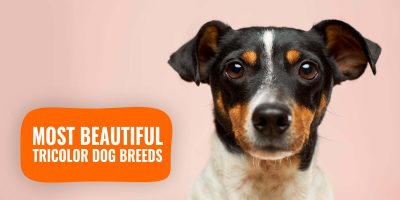 most beautiful tricolor dog breeds