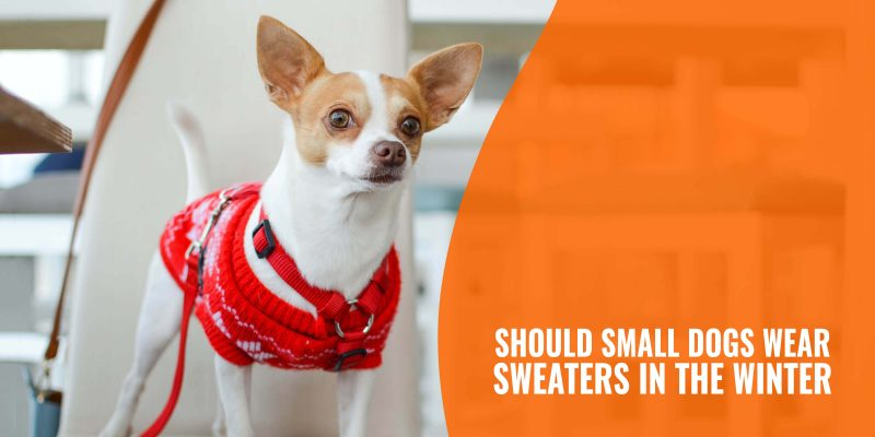 should small dogs wear sweaters in the winter