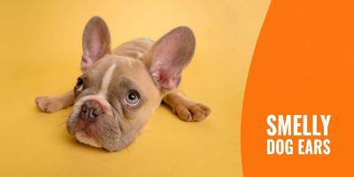 smelly dog ears