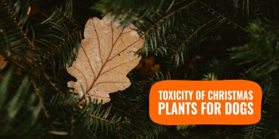 toxicity of christmas plants for dogs