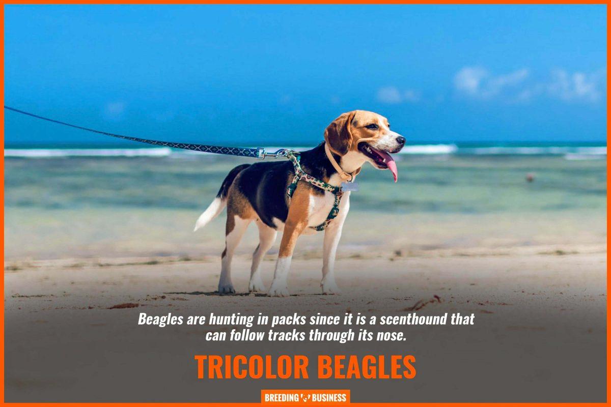 tricolor beagles