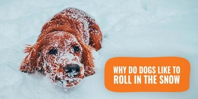 why do dogs like to roll in the snow