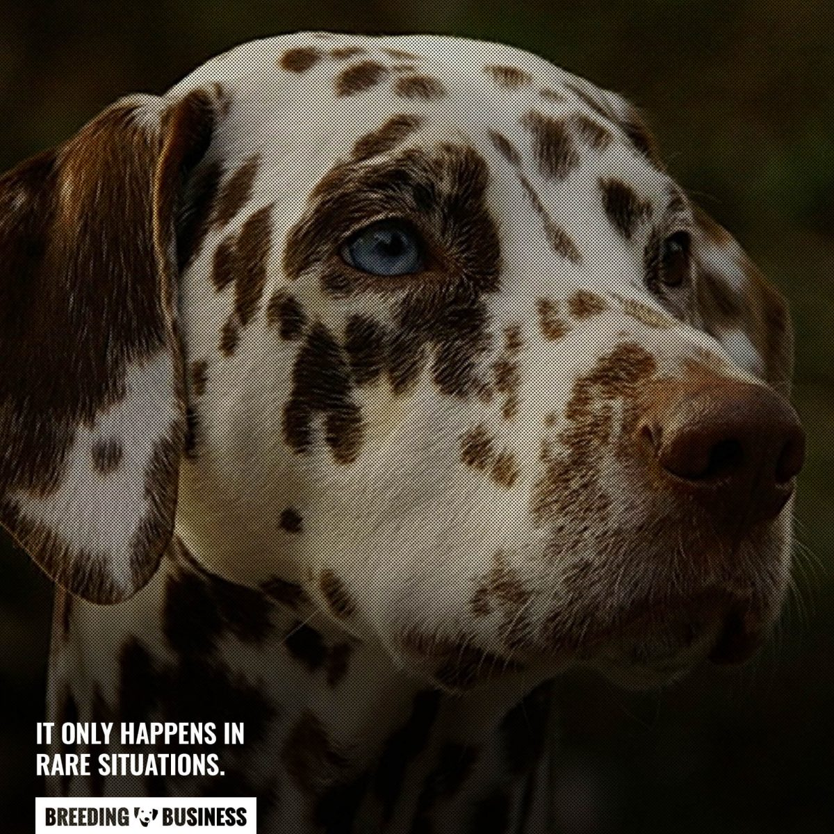 blue-eyed dalmatians are rare