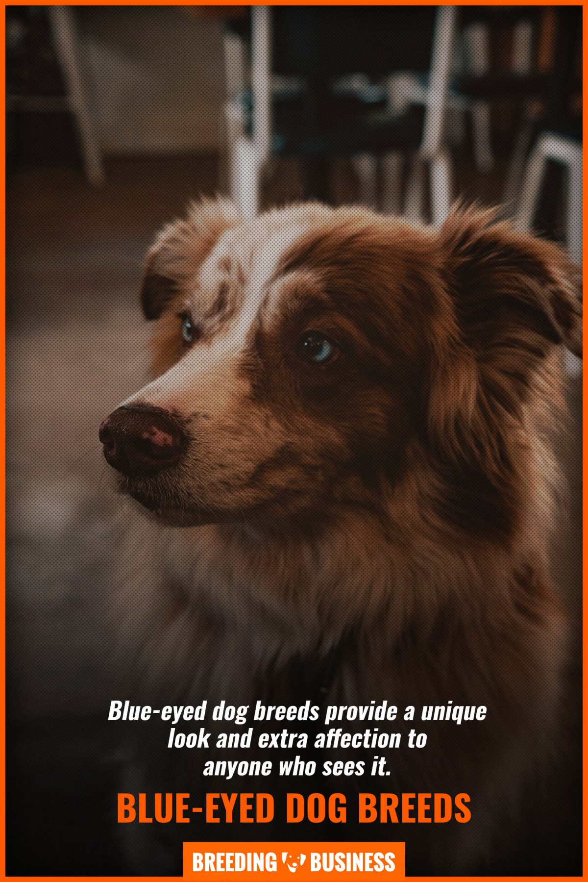 blue-eyed dog breeds