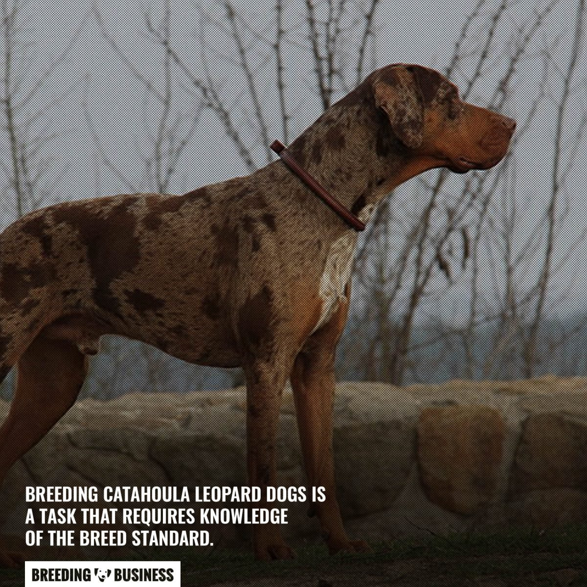 breed standard of catahoula leopards