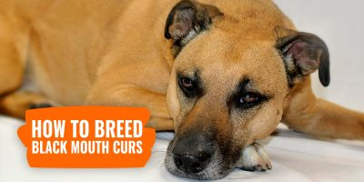 how to breed black mouth curs