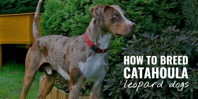 how to breed catahoula leopard dogs