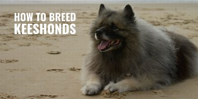 How to Breed Keeshonds