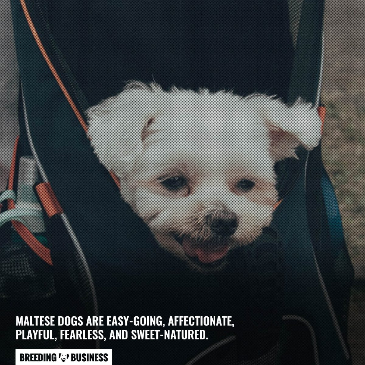 maltese dogs are easy going