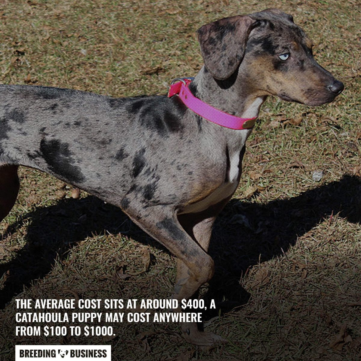 price of catahoula leopards