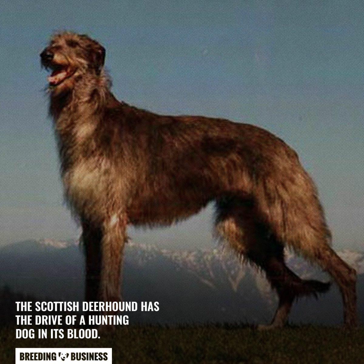 scottish deerhound giant breed