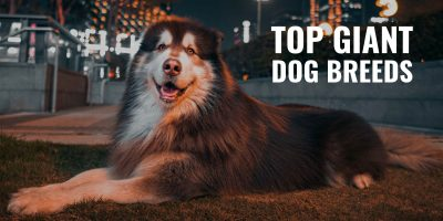 Top Giant Dog Breeds