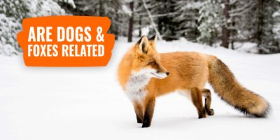 are dogs and foxes related