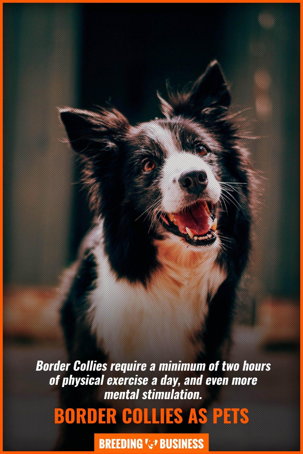 border collies as pets
