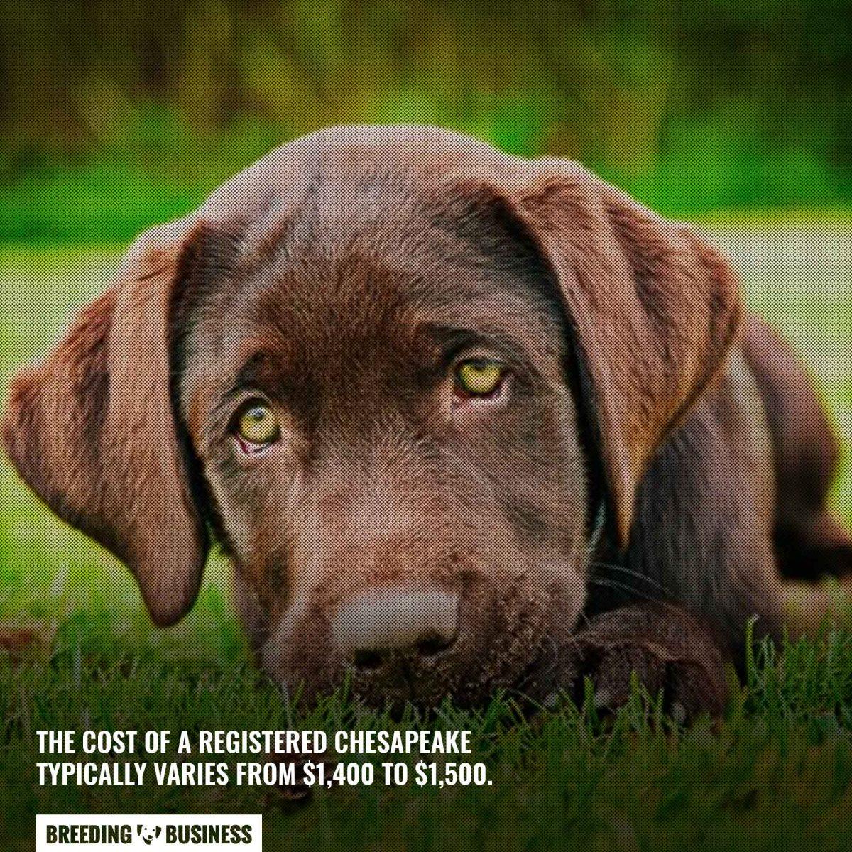 chesapeake bay retriever puppy price
